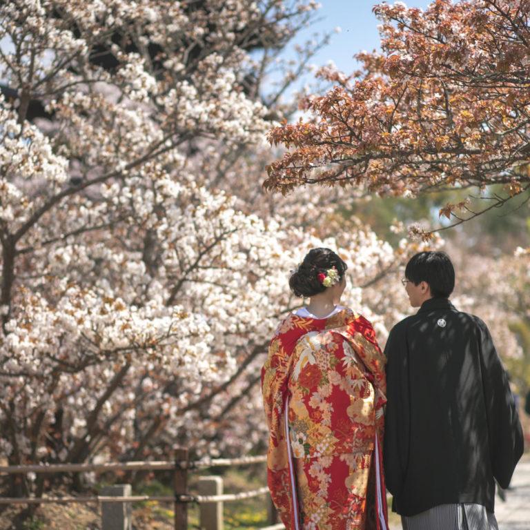 京都百福 仁和寺 春 御室桜